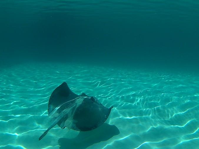 Stingray, Bahamas