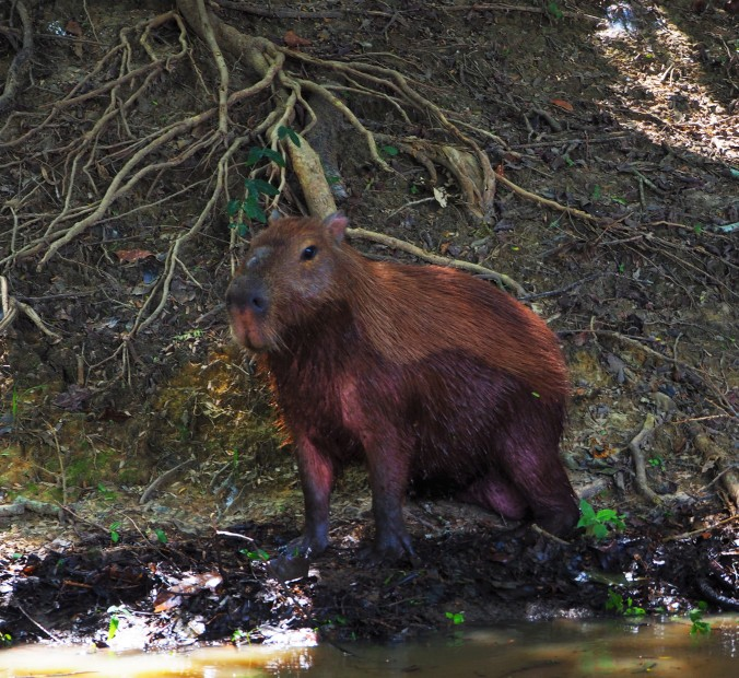 Capybara, Pampas, Rurrenabaque, Bolivian Amazon